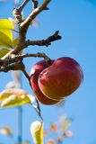 Apples on the Tree 2 Stock Photos