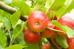 Apples on Tree. Apples (Srumptious variety) growing on tree Royalty Free Stock Photography