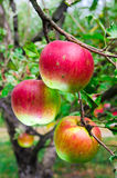 Apples on tree. Organic grown apples ready for harvest Stock Photos