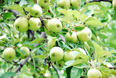 Apples in a tree. Green apples on a tree Royalty Free Stock Photography