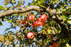 Apples on a tree Stock Image