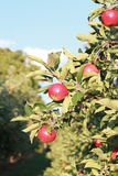 Apples in a tree. Red apples in a tree, ready to harvest Stock Image
