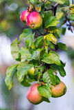 Apples on a tree. Organic apples ripening on a tree Stock Photo