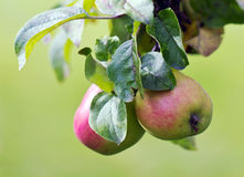 Apples on a tree. Organic apples ripening on a tree Stock Photos