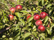 Apples on a tree Royalty Free Stock Image