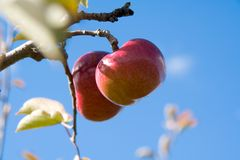 Apples on the Tree. Two apples, the front one in focus, hanging from an apple tree, against a pure blue sky Stock Images