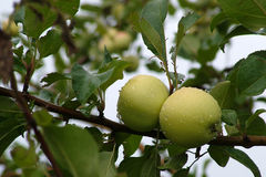 Apples on a tree. After a rain Royalty Free Stock Photo