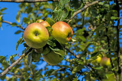 Apples on a  tree Royalty Free Stock Photography