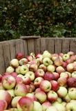 Apples on the tree. Fresh apples on the tree. Autumn Stock Photo