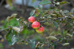 Apples on the tree. The red apples on the branch of apple-tree. Outdoor Stock Photo