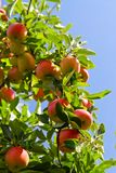 Apples on tree Stock Photos