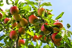 Apples on tree Royalty Free Stock Photography