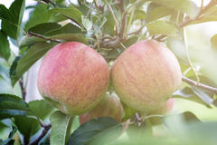 Apples On Tree In Apple Orchard Royalty Free Stock Images