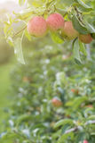 Apples On Tree In Apple Orchard Stock Image