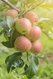 Apples On Tree In Apple Orchard. Red Apples On Tree In Apple Orchard Stock Images