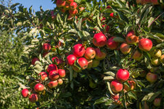 Apples in tree Stock Images