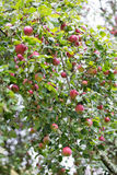 Apples on the tree Royalty Free Stock Photo