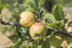Apples on the tree, apple tree Royalty Free Stock Photos