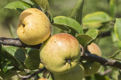 Apples on the tree, apple tree Stock Image