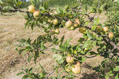 Apples on the tree, apple tree Royalty Free Stock Image