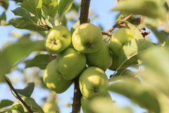 Apples on the tree Royalty Free Stock Images