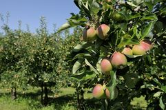 Apples on tree, baden Stock Photos