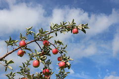Apples in tree. With blue sky with some clouds Stock Images