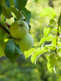 Apples on a tree branch Royalty Free Stock Photography