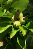 Apples on tree branch Stock Photo