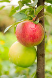 Apples on Tree Branch Stock Images