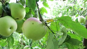 Apples On The Tree. Branch With Apples On The Tree. Four Apples On Branches. Close view of apple fruits. Green apples on the branch. Apples On The Tree. Branch stock video footage