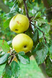Apples on tree branch. A couple of fresh apples on tree branch royalty free stock photography