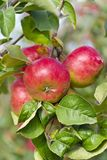 Apples. On a tree branch in the garden Stock Photos