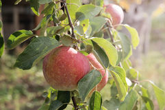 Apples on a tree branch Royalty Free Stock Image