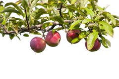 Apples. On tree branch at an orchard Stock Images
