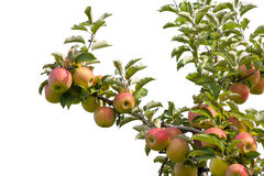 Apples. On tree branch at an orchard Stock Photo