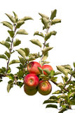 Apples. On tree branch at an orchard Royalty Free Stock Images