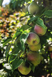 Apples on a tree branch Stock Photo