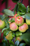 Apples on the tree. Bunch of apples on the tree in the garden Stock Photo