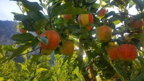 Apples in the tree, Canada royalty free stock photo