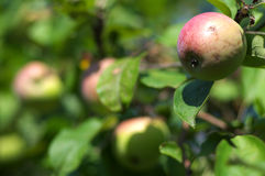 Apples on tree close up Royalty Free Stock Photography