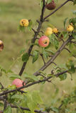 Apples on a tree. Royalty Free Stock Images