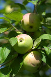 Apples on tree close up Stock Photos