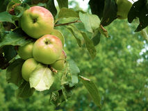Apples on tree Royalty Free Stock Photo