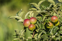 Apples. On the tree in clusters, from organic farming Stock Images