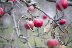 Apples on a tree in december. Picture of Apples on a tree in december,Macedonia Stock Image