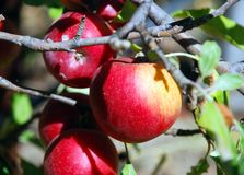 Apples on the tree-fresh royalty free stock photo