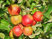 Apples on the tree. Fresh apples on a tree in autumn Royalty Free Stock Photo