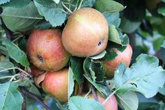 Apples on the tree. Apples. Fruits of the apple trees Stock Image