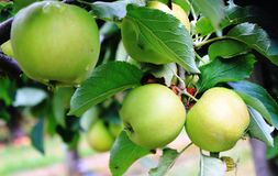 Apples on the tree. Apples. Fruits of the apple trees Stock Photos